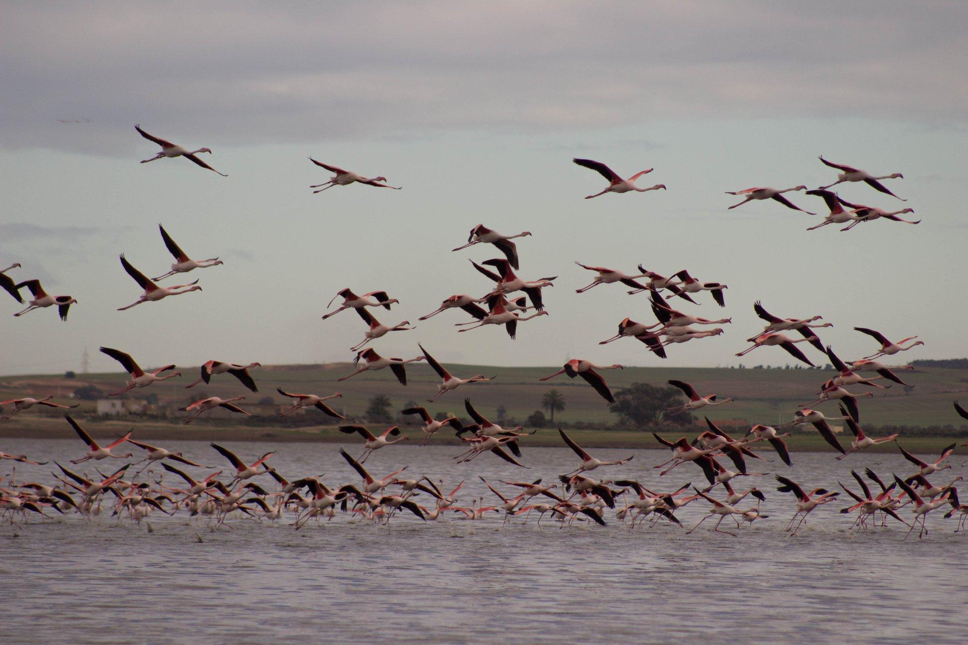Oiseaux migrateur