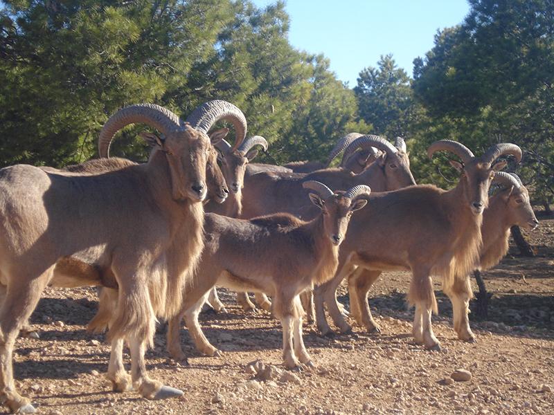 Groupe de mouflons